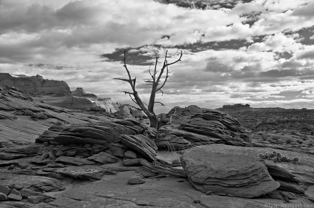 Lone Tree, Coyote Buttes North, Utah (Black and White)